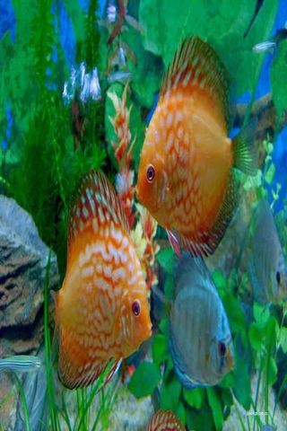 观赏鱼动态壁纸 1.0 图片